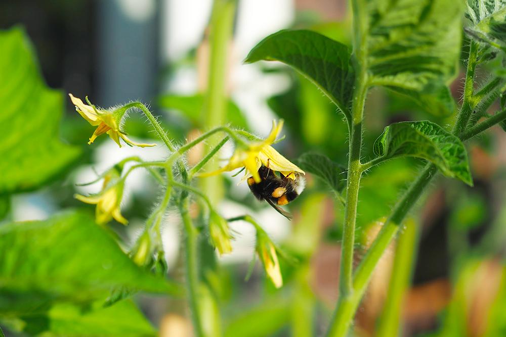 fleurs-pollinisateurs-potager-verger