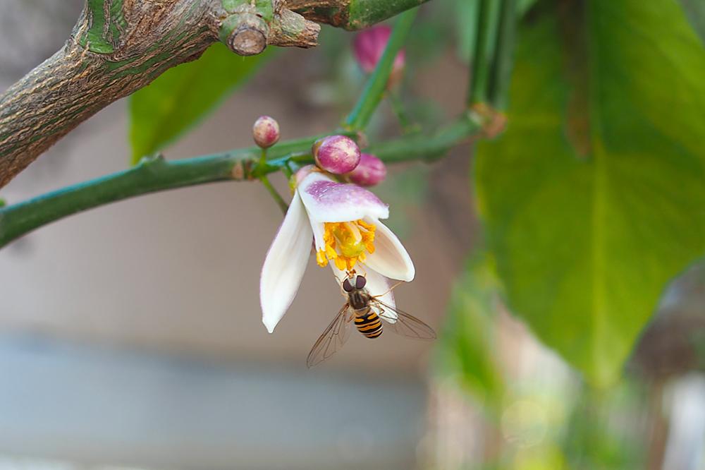 fleurs-pollinisateurs-potager-verger2