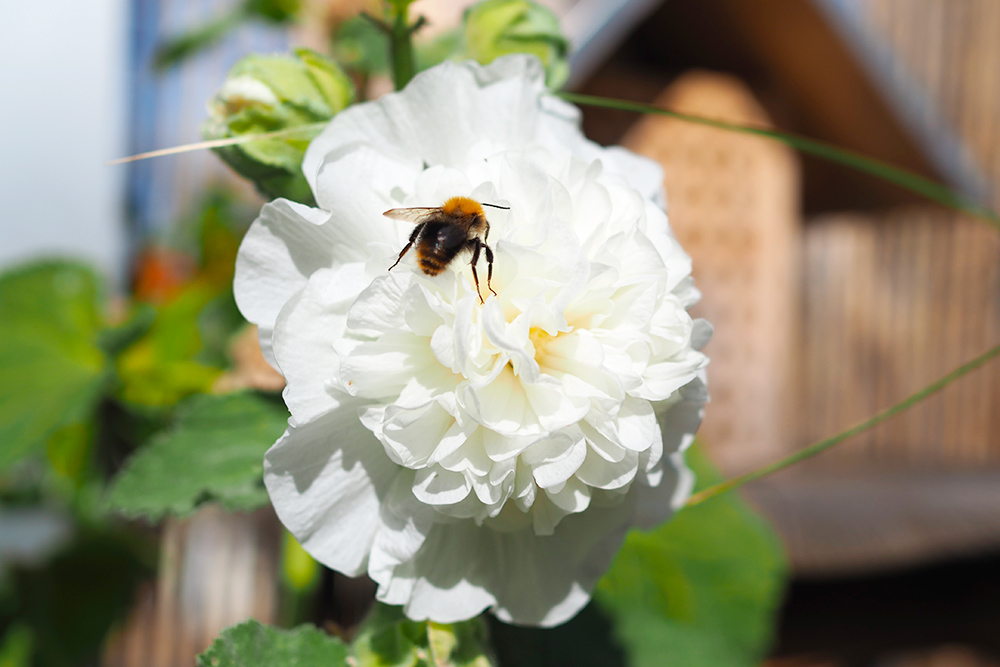 fleurs-pollinisateurs-rosetremiere