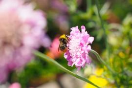 fleurs-pollinisateurs-scabieuse